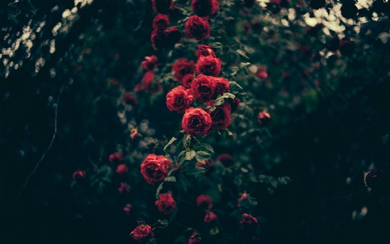 Fondos de pantalla Rosas rojas, gotitas de agua, oscuridad.