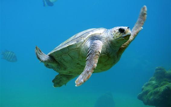 Wallpaper Sea animal, turtle, swim, underwater