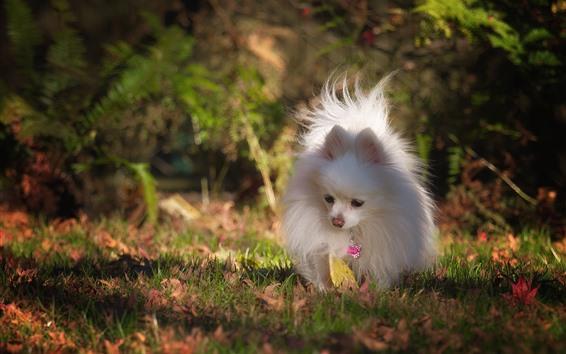 Wallpaper White dog, pomeranian, grass, autumn