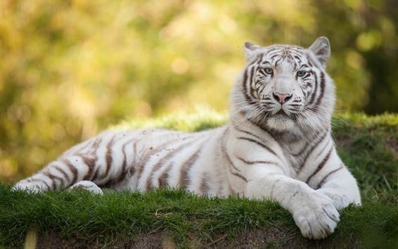 Обои Белый тигр отдых, взгляд, трава, дикая природа