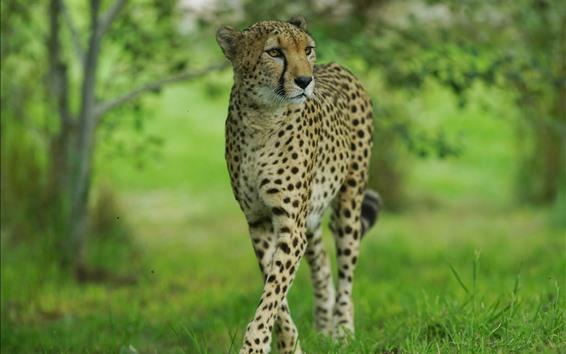 Wallpaper Cheetah walk, front view, wildlife