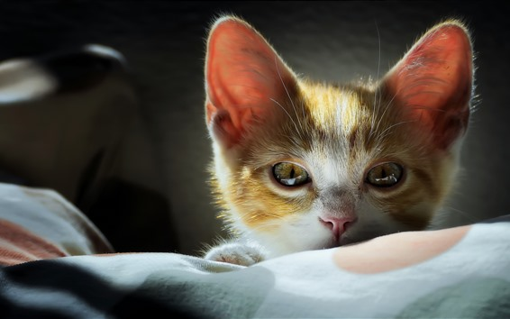 Обои Милый котенок, лицо, взгляд, глаза, уши