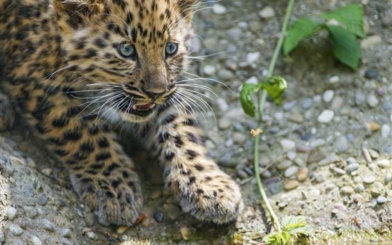 Wallpaper Cute leopard cub, look, eyes, hazy