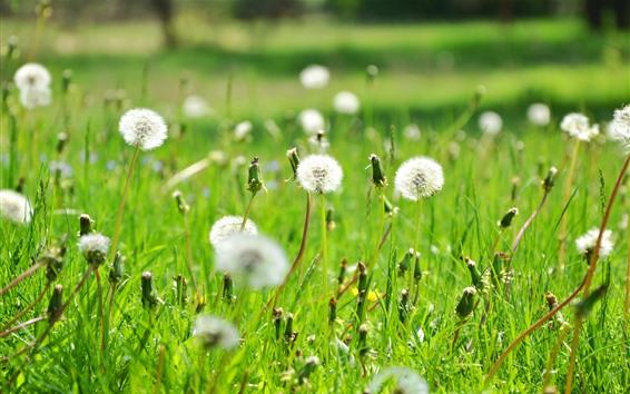 Wallpaper Dandelions, white flowers, summer, nature