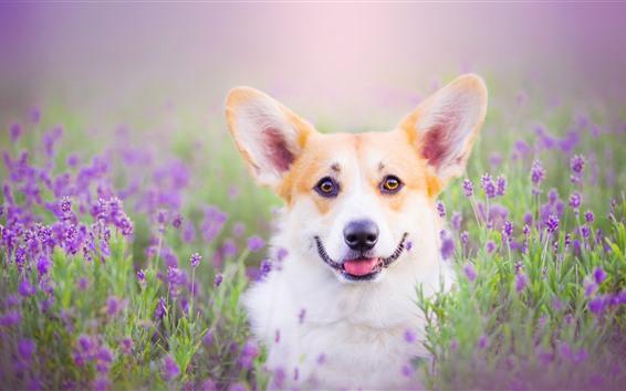Papéis de Parede Cão olha para você, flores roxas