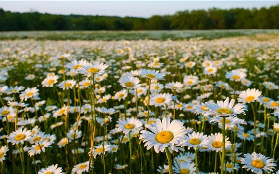 Обои Поле цветов, ромашка, лето