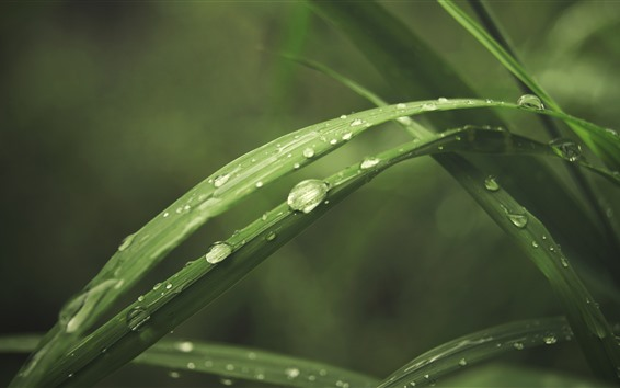Wallpaper Green grass leaves, water droplets, macro photography