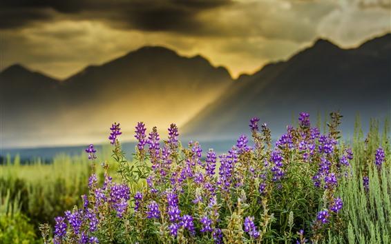 배경 화면 라벤더 꽃, 태양 광선, 산, 안개, 아침
