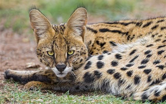 Fondos de pantalla Lynx, Wildcat, descanso, mirada, ojos, orejas, cara