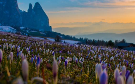壁纸 许多番红花,紫色的花朵,斜坡,山脉,雾,早晨