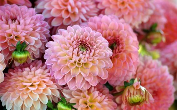 Обои Многие розовые георгины, цветы, лепестки