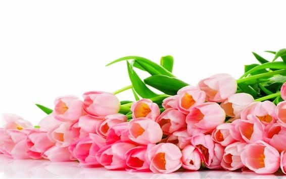 Papéis de Parede Muitas flores de tulipa rosa, fundo branco