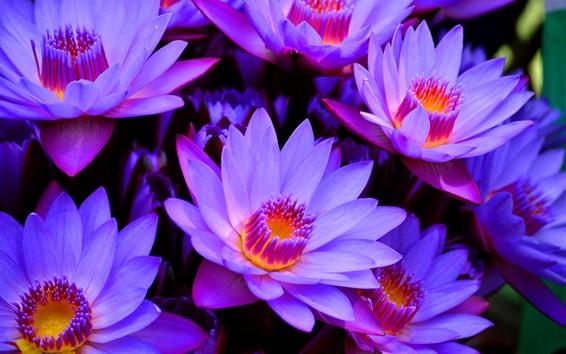 Обои Многие фиолетовые водные лилии, лепестки, пестик