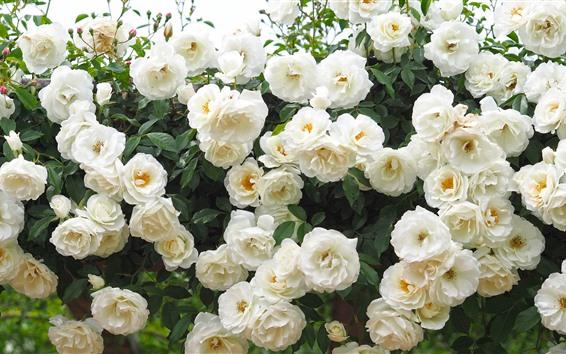 Wallpaper Many white roses, garden flowers