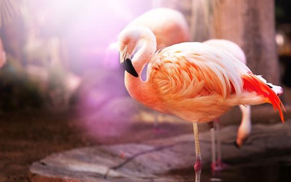 Обои Одна птица, фламинго, розовые перья, туманные