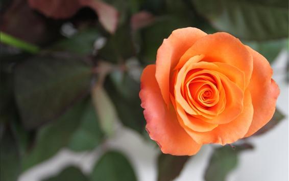 Fondos de pantalla Una rosa de naranja, pétalos, nebulosos.