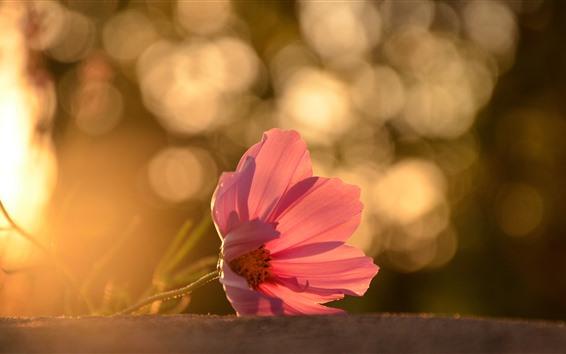 Fondos de pantalla Un primer plano de la flor rosa, pétalos, retroiluminación