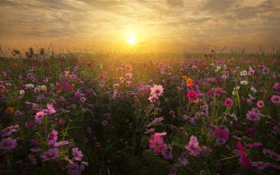 Обои Розовые цветы Kosmeya, трава, закат