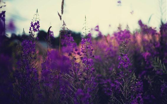 Papéis de Parede Flores roxas, lavanda, caule, campo