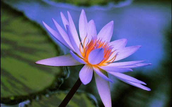 배경 화면 보라색 물 백합, 꽃, 꽃잎, 암술, 연못
