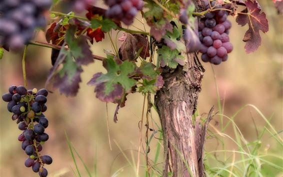 Wallpaper Ripe grapes, tree, fruit