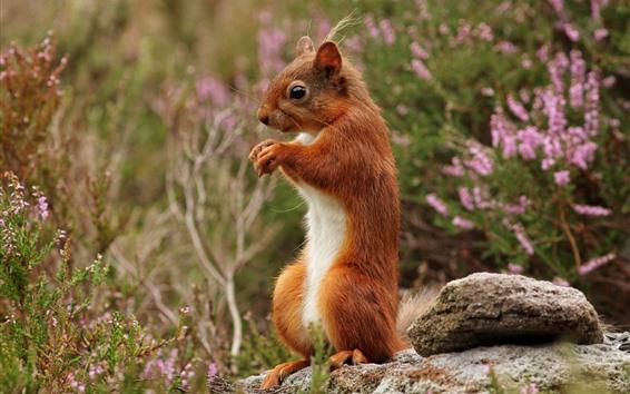 Wallpaper Squirrel, wildflowers, stone