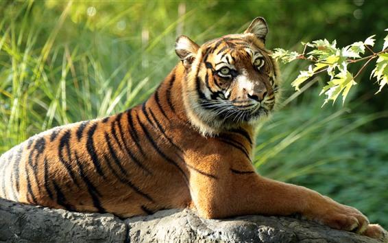 Обои Тигр отдых, камень, оглядываться назад, листья