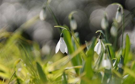 Обои Белые цветы, подснежники, зеленые листья, туманные