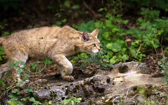 Обои Wildcat, желтые глаза, гулять