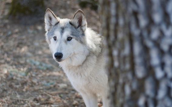 Wallpaper Wolf, look, face, tree
