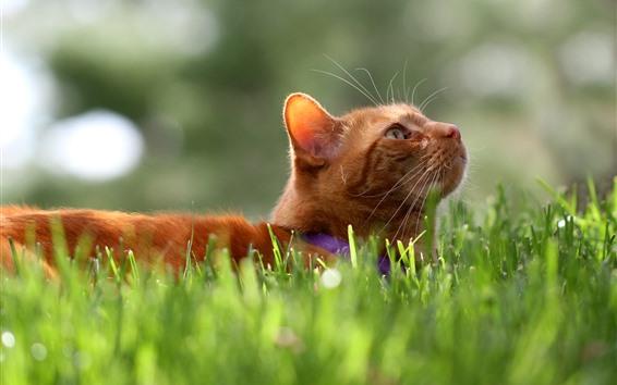 Обои Кот, томат, посмотрите, лицо, трава