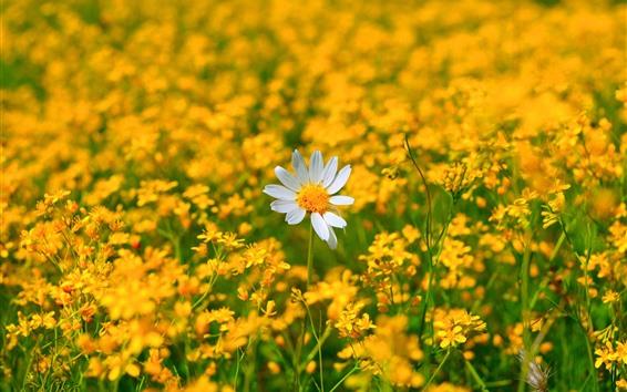 Fond d'écran Camomille, une fleur blanche, beaucoup de fleurs jaunes