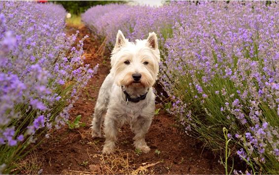 Обои Милые собаки и фиолетовые цветы лаванды