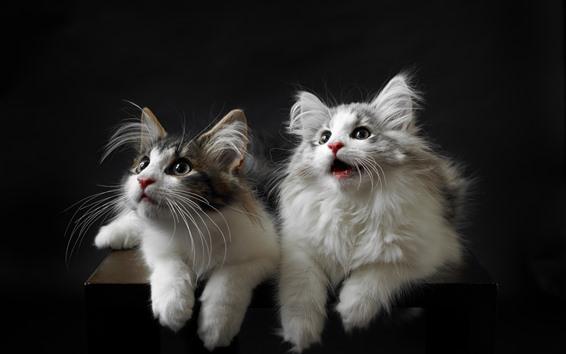 Обои Милые две кошки, лицо, вид, черный фон