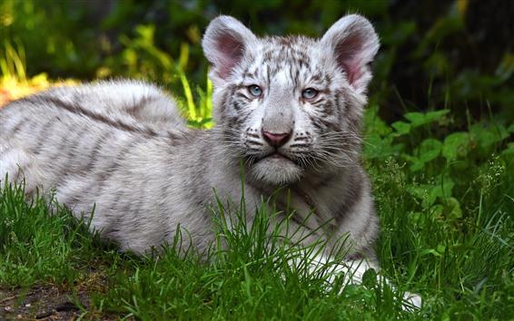 Обои Милый белый тигр, лицо, трава, отдых