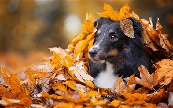 Обои Собака, скрытая в кленовых листьях, осень