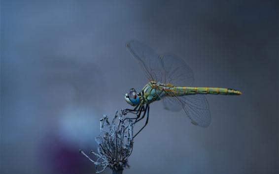 Papéis de Parede Libélula, asas, fotografia macro de inseto