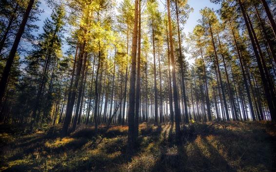 Обои Лес, Деревья, Солнечные лучи, Тень