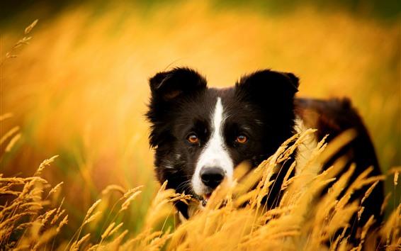 Обои Золотая пшеница, собака, посмотри