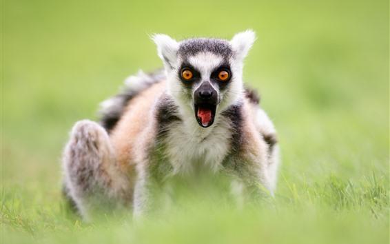 Обои Лемур, вид спереди, глаза, зеленая трава, туманные
