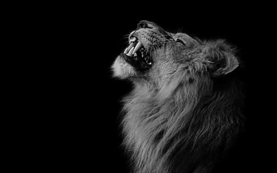 Wallpaper Lion, mane, teeth, face, black background