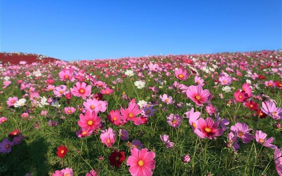 Обои Многие розовые цветы kosmeya, лепестки, весна