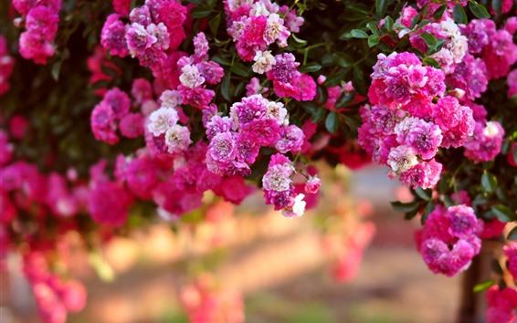 Обои Многие розовые розы, туманные, сад