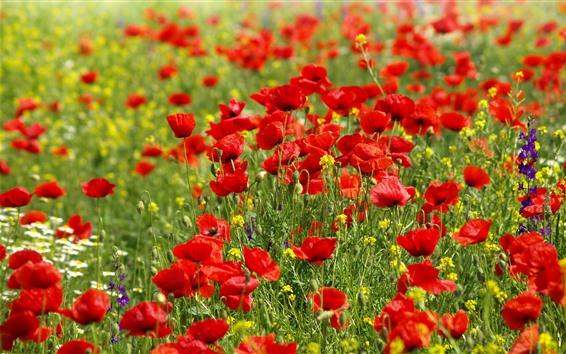 Обои Многие красные цветы мака, весна