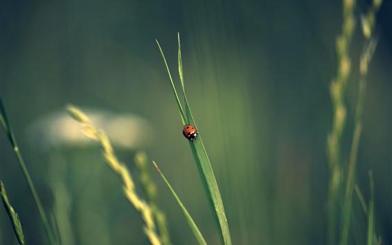 배경 화면 하나의 무당 벌레, 푸른 잔디 잎, 곤충