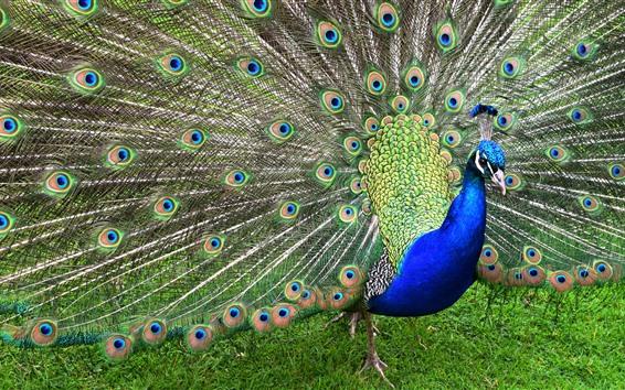 Обои Павлин, птица, красивые перья, хвост