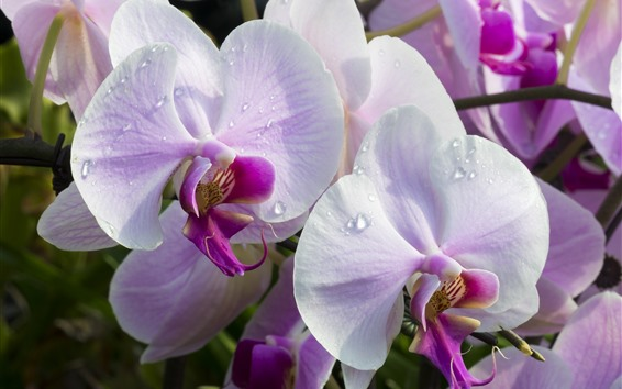 Fondos de pantalla Phalaenopsis rosa, pétalos, gotas de agua