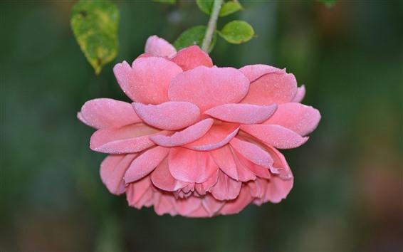 Wallpaper Pink rose, petals, frost, dew