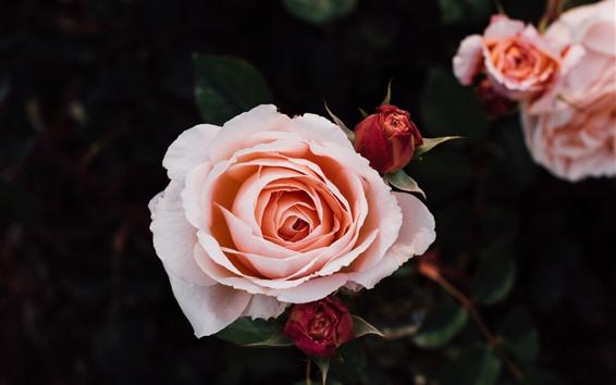 Fondos de pantalla Rosas rosadas, pétalos, brotes