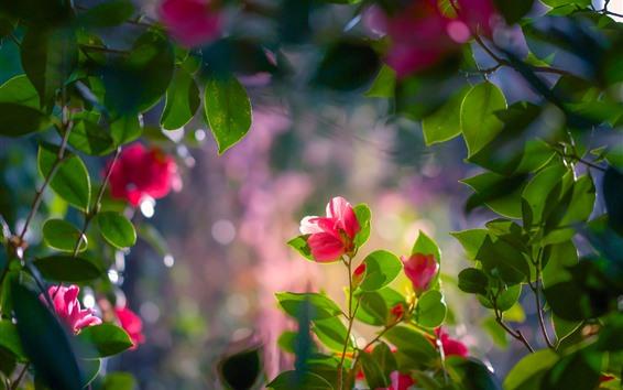 Обои Красная камелия, цветы, листья, веточки